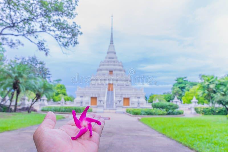 Dipterocapus alatus menchie kwitną na palmowej ręce z zamazywali sanktuarium, świątynia, tło obrazy royalty free