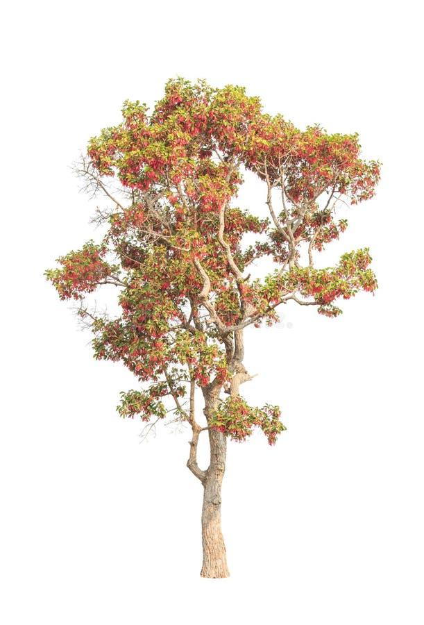 Dipterocapus Intricatus,开花的热带树 免版税库存图片