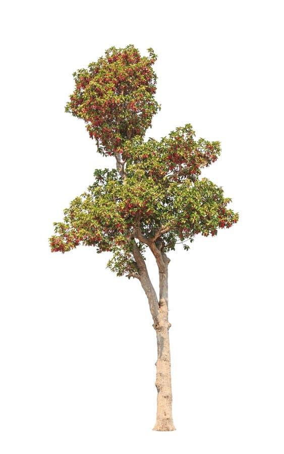 Dipterocapus Intricatus, árvore de florescência isolada no branco fotos de stock