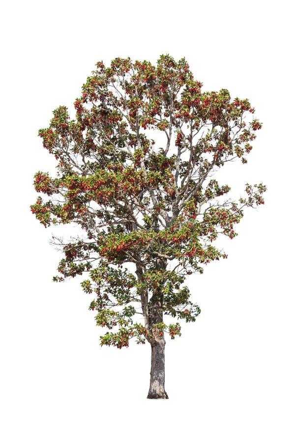Dipterocapus Intricatus, árvore tropical foto de stock