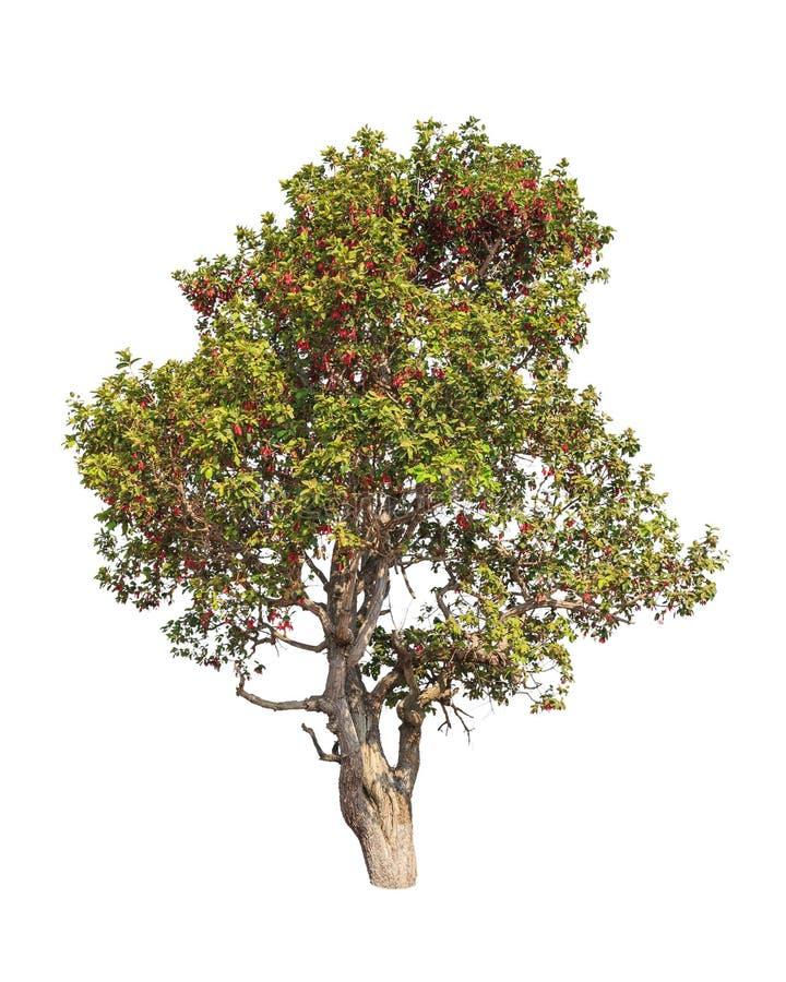 Dipterocapus Intricatus, árvore tropical foto de stock royalty free
