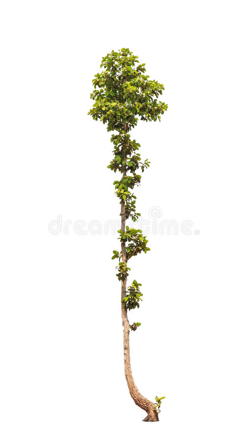 Dipterocapus Intricatus, árvore tropical imagem de stock royalty free