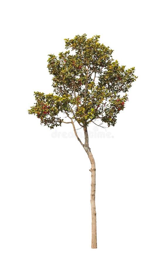 Dipterocapus Intricatus, árvore tropical imagens de stock