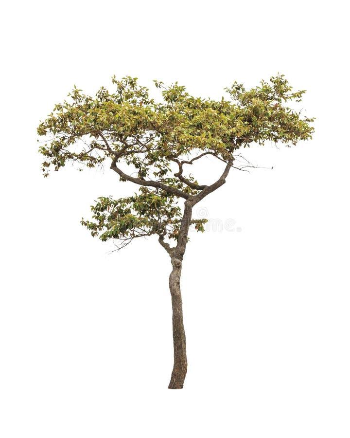 Dipterocapus Intricatus, árvore tropical fotografia de stock royalty free