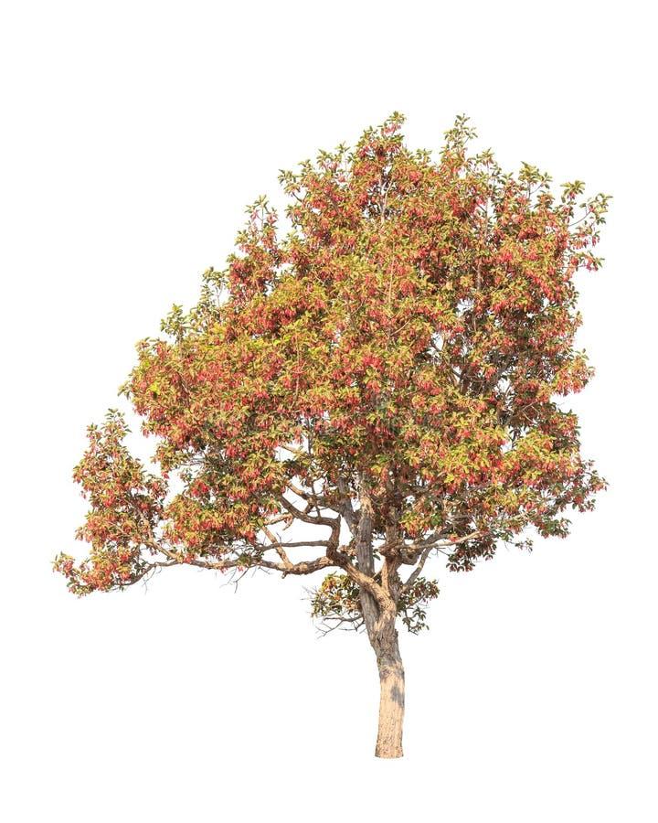 Dipterocapus Intricatus, árvore tropical de florescência em Tailândia fotos de stock royalty free