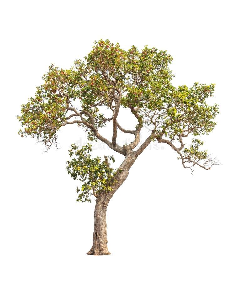 Dipterocapus Intricatus, árvore tropical em Tailândia fotos de stock royalty free