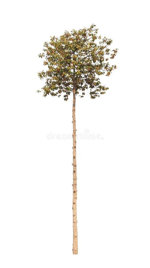 Dipterocapus Intricatus, árvore tropical isolada imagens de stock royalty free