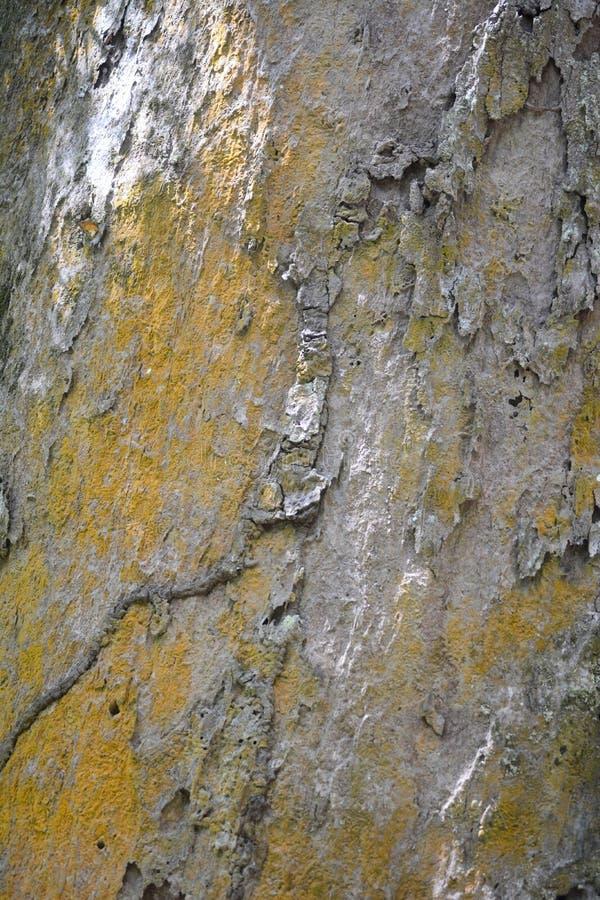 Dipterocarpus表面 免版税库存图片