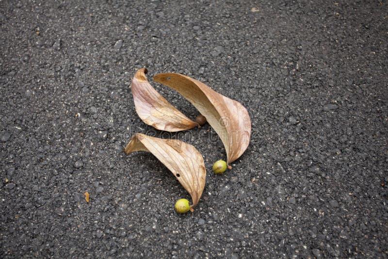 Dipterocarpus fotos de stock royalty free
