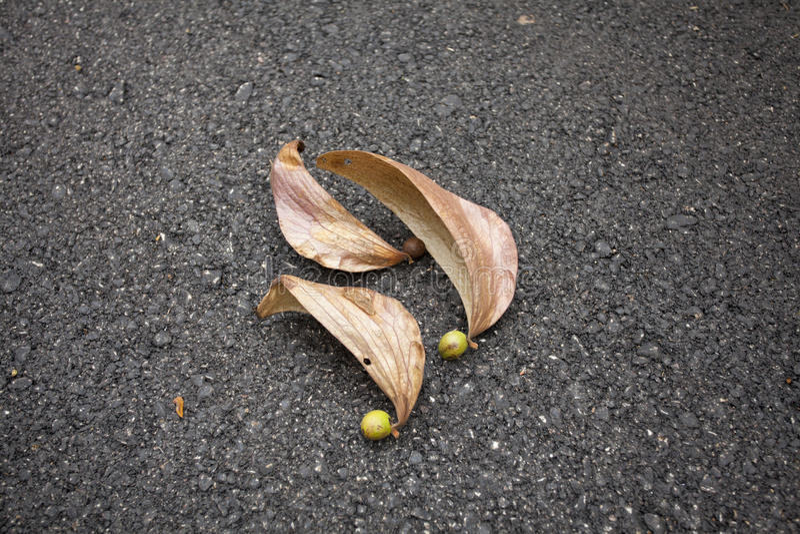 Dipterocarpus 免版税库存照片