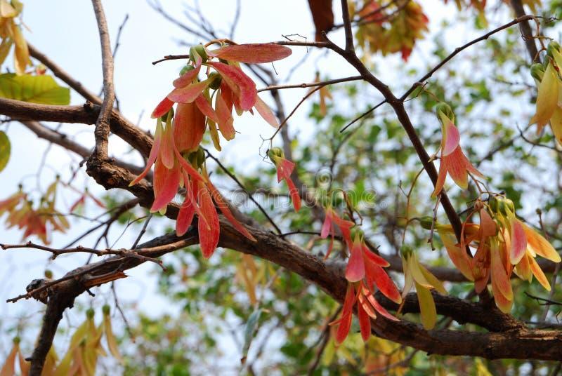 Dipterocarpus imagem de stock