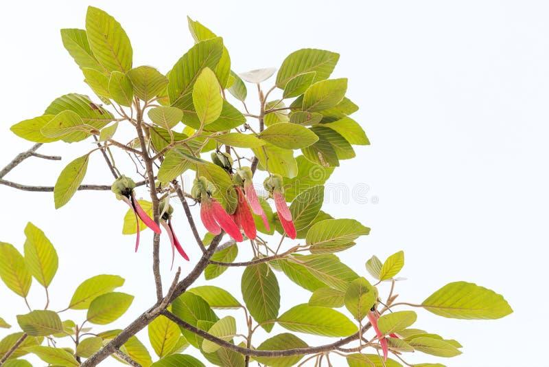 Dipterocarpus alatus树 免版税库存照片