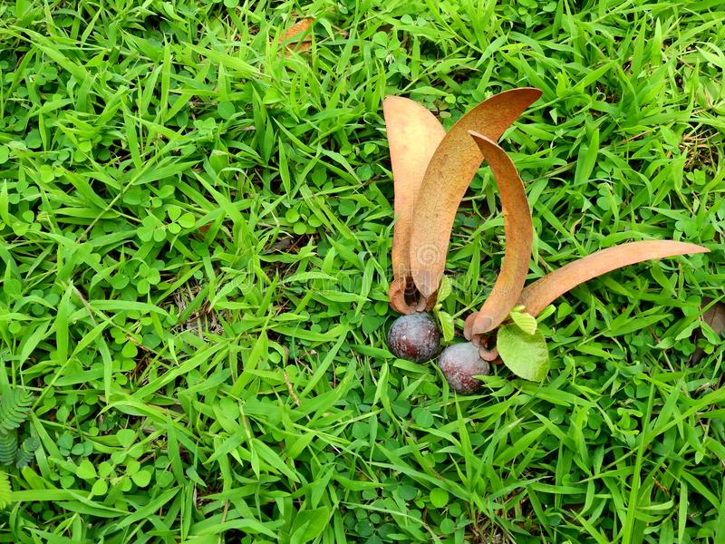Dipterocarpus alatus种子 库存图片