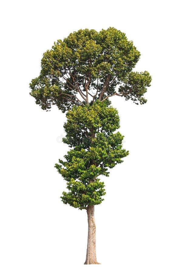 Dipterocarpus alatus,在泰国的东北部的热带结构树 库存照片