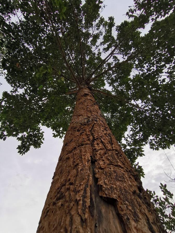 Dipterocarpus Alatus royalty-vrije stock afbeeldingen