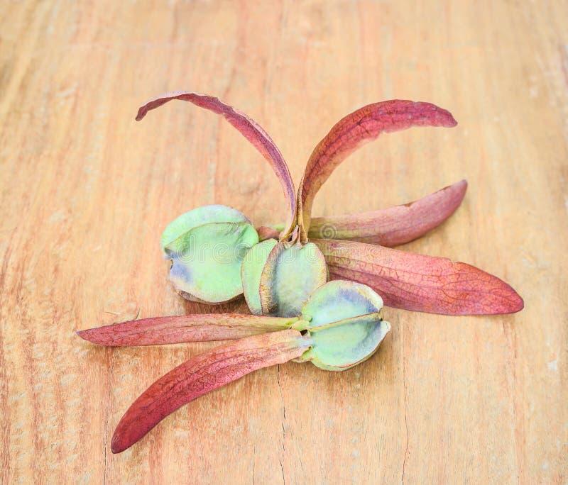 Dipterocarpus alatus, oskrzydlony ziarno zdjęcie royalty free