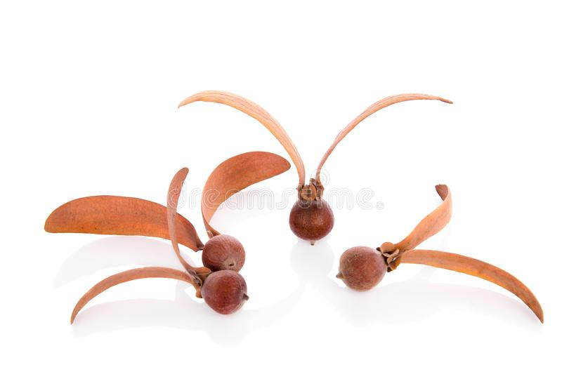Dipterocarpus-alatus Roxb seeds stockfoto