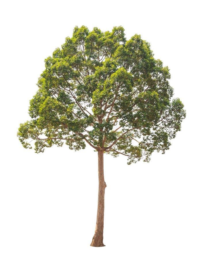 Dipterocarpus alatus, tropischer Baum lokalisiert auf weißem Hintergrund stockbild