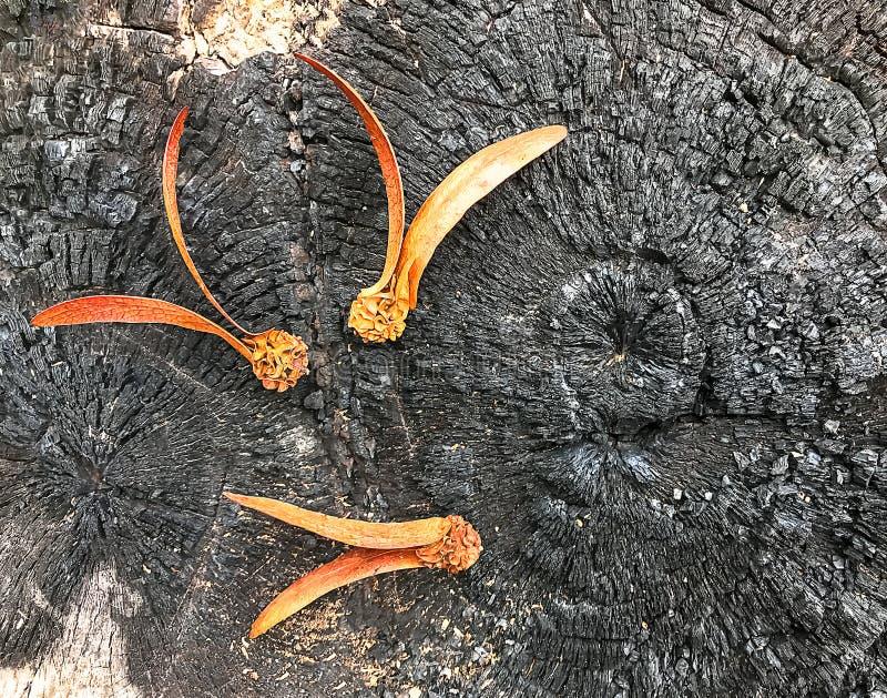 Dipterocarpusalatus op de gebrande stomp is zwart royalty-vrije stock foto