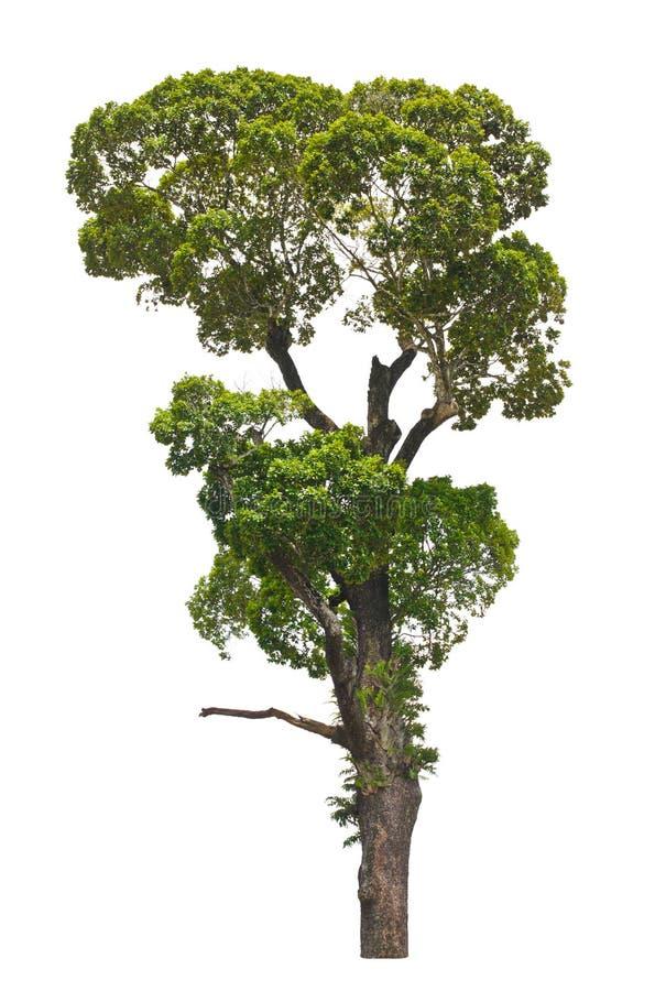 Dipterocarpusalatus, tropische boom. stock foto