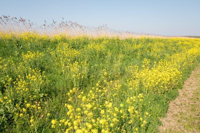 Dique com flores da couve-nabiça, colza, no springtimerve imagem de stock