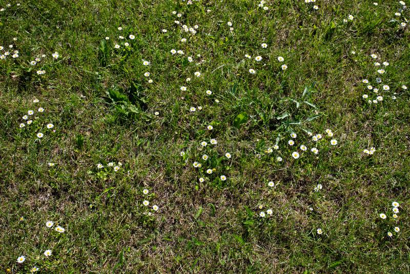 Directamente sobre el tiro de las margaritas del césped que crecen entre hierba verde fotos de archivo