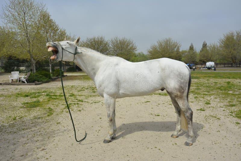 Directement de la bouche de chevaux images stock