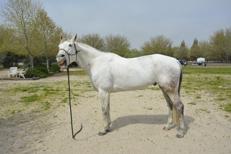 Directement de la bouche 2 de chevaux photo libre de droits