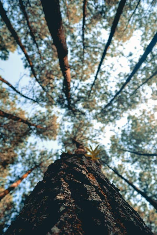 Directement, les forêts tendues, le soleil de matin ont pénétré les arbres images libres de droits