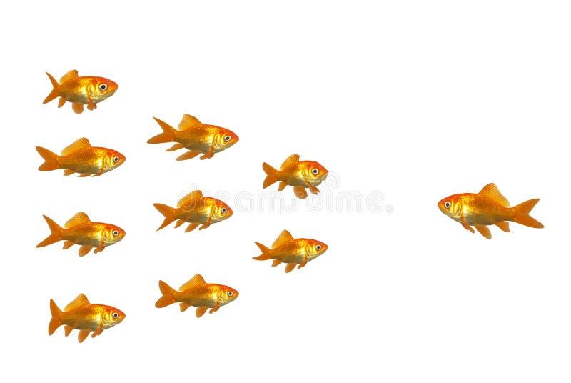 Directing goldfish stock image