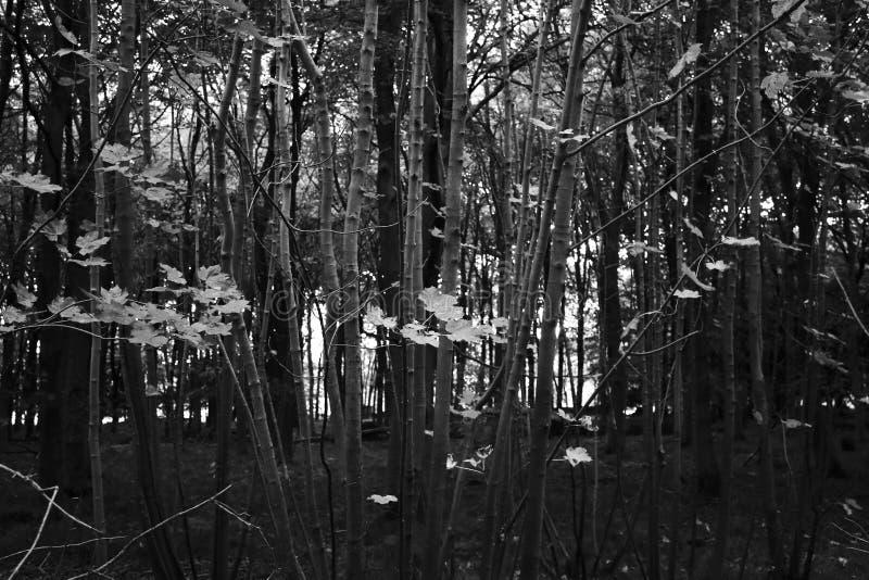 Directo blanco y negro el bosque foto de archivo