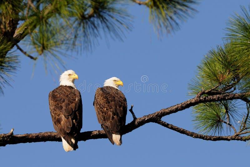 Direita do revestimento dos pares da águia calva imagens de stock royalty free