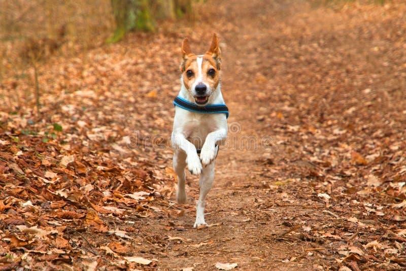 Direkt laufender Hund Jack Russell Terrier mit Kragen im belaubten Wald im Herbst lizenzfreie stockfotografie