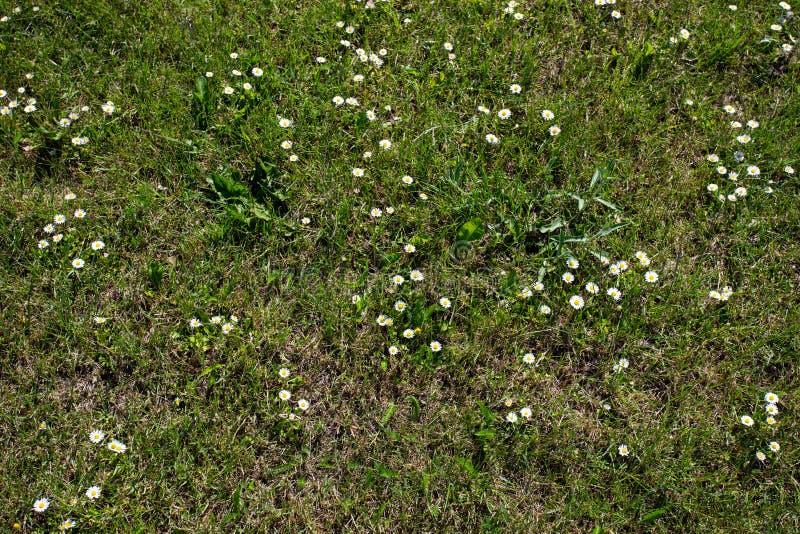 Diretamente acima do tiro das margaridas do gramado que crescem entre a grama verde fotos de stock