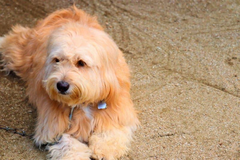 Diriga un cane e gli occhi marroni fotografia stock libera da diritti