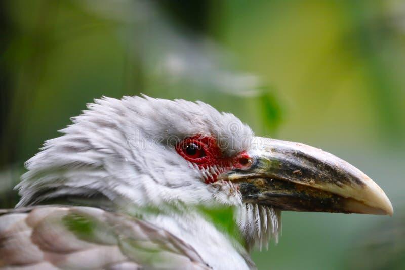 Dirigez avec l'oeil rouge et le grand bec des novaehollandiae canal-affichés de scythrops d'un coucou dans la vue de profil photographie stock