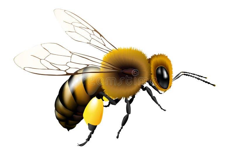 Dirigez l'abeille avec les ailes transparentes pour n'importe quel fond illustration de vecteur