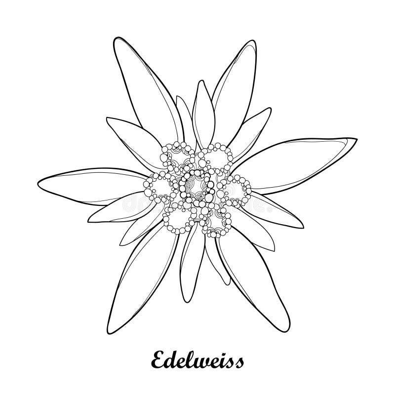 Dirigez l 39 illustration avec l 39 alpinum d 39 edelweiss ou de leontopodium d 39 ensemble d 39 isolement sur - Coloriage fleur edelweiss ...