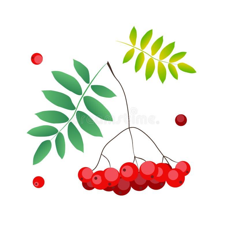 Dirigez l'illustration de la baie et des feuilles de sorbe en rouge et le vert d'isolement sur le fond blanc illustration stock