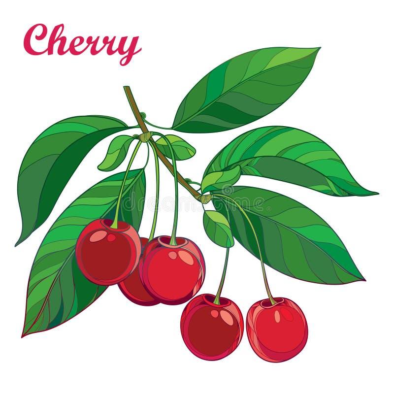 Dirigez la branche avec la cerise rouge mûre d'ensemble, le groupe, la baie et les gouttières vertes d'isolement sur le fond blan illustration stock