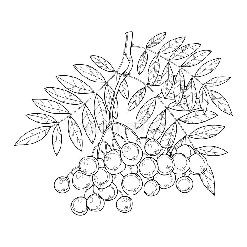 Dirigez la branche avec la sorbe ou la sorbe d'ensemble, les feuilles et la baie d'isolement sur le blanc Illustration avec la ba illustration stock