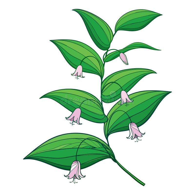 Dirigez la branche avec le contour Streptopus ou vous êtes levé groupe tordu de fleur de tige et feuilles vertes fleuries d'isole illustration stock
