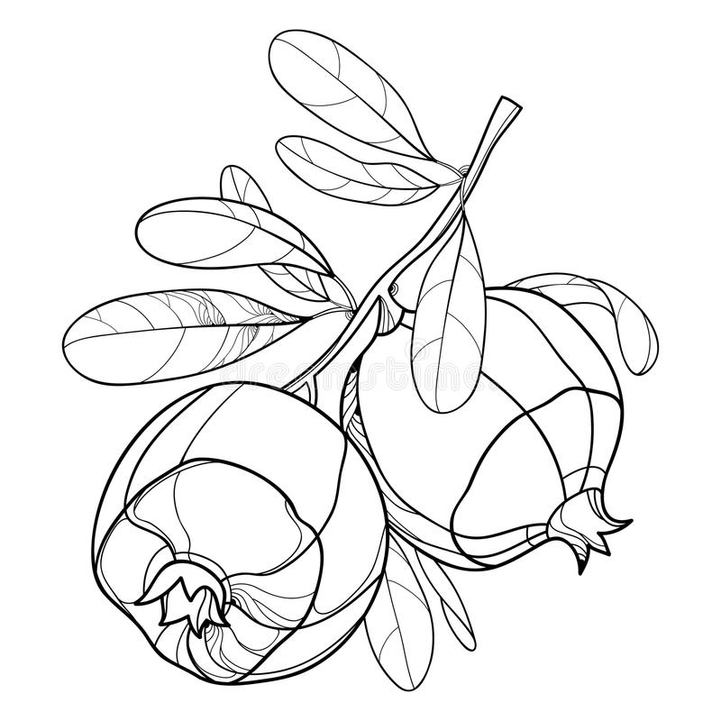 Dirigez la branche avec le fruit entier de grenade d'ensemble et la feuille fleurie dans le noir d'isolement sur le fond blanc De illustration libre de droits