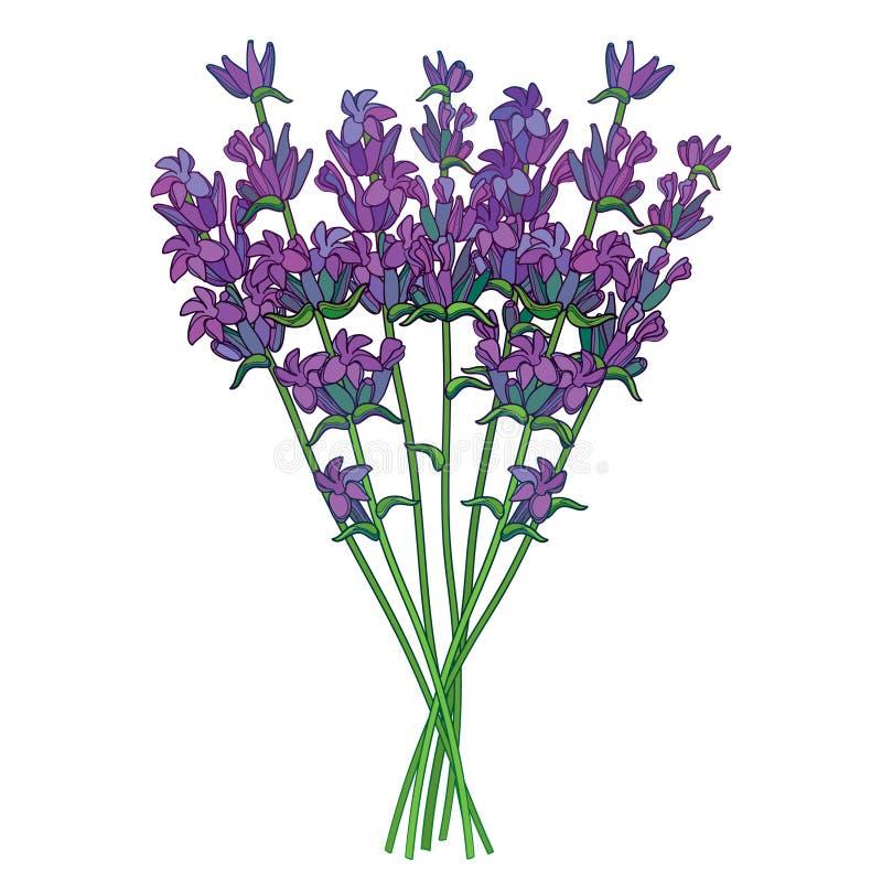Dirigez le bouquet avec le groupe de fleur de lavande ou de Lavandula d'ensemble et le bourgeon dans la violette d'isolement sur  illustration libre de droits