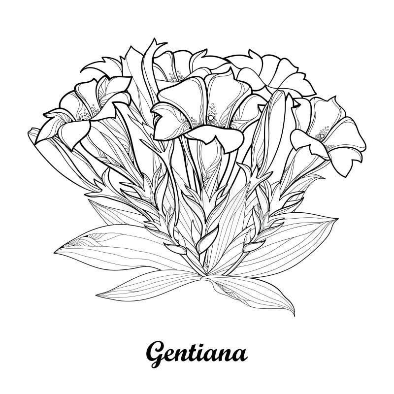 Dirigez le bouquet avec le contour fleur gentiana ou de gentiane bourgeon et feuille d - Coloriage fleur gentiane ...