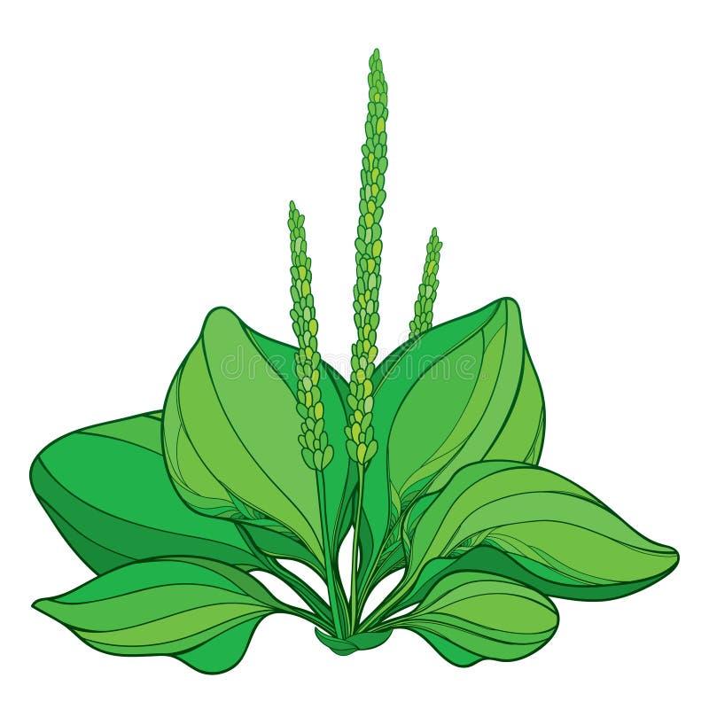 Dirigez le commandant de Plantago d'ensemble ou la rosette de plantain des feuilles fleuries et de la graine en vert d'isolement  illustration de vecteur