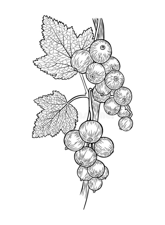 Dirigez le croquis noir et blanc réaliste et tiré par la main des baies d'une groseille et les feuilles sur une branche illustration de vecteur