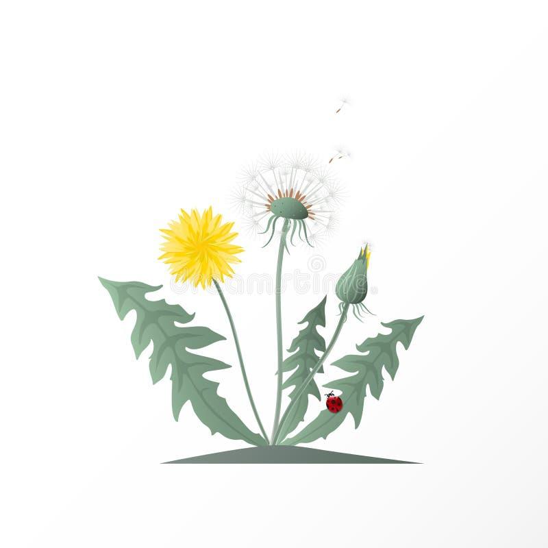 Dirigez les pissenlits d'illustration avec la tête de graine, les feuilles de vert, la fleur jaune et la coccinelle rouge Fleur s illustration de vecteur