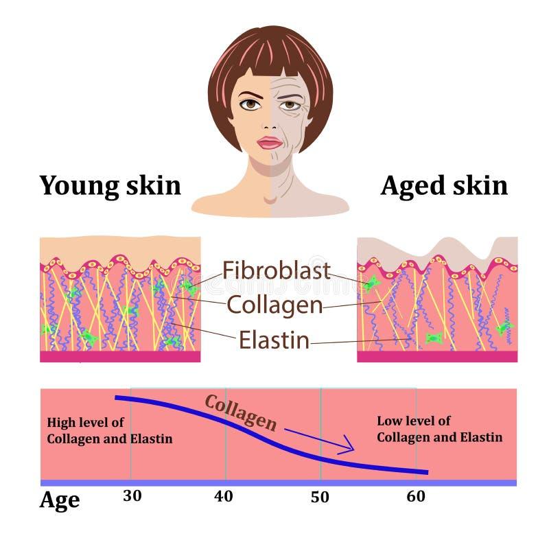 Dirigez les visages et deux types de la peau - âgée et de jeunes pour les illustrations médicales et cosmetological d'isolement illustration de vecteur