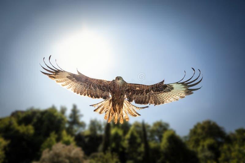 Dirigez sur la vue de chasser le cerf-volant rouge avec la lumière du soleil derrière photographie stock libre de droits